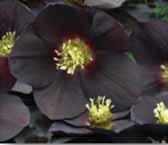 Lenetn Rose C