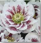 Lenten Rose B