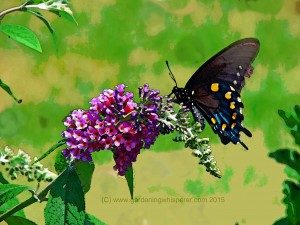 Butterfly bush and Butterfly small