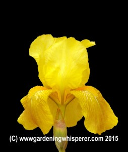 Iris yellow Small