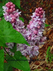 Lilac Common Small