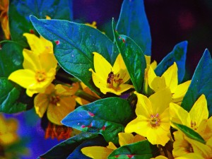 Yellow Loosestrife Small